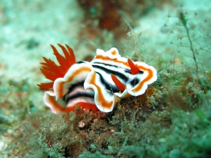 Cómo-fotografiar-nudibranquios-y-no-morir-en-el-intento