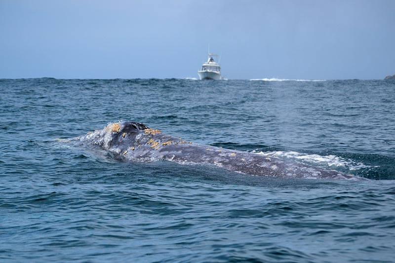 avistamiento-ballenas-grises-bcs