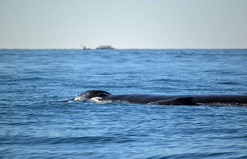 avistamiento-de-ballenas-ballenato-y-mama