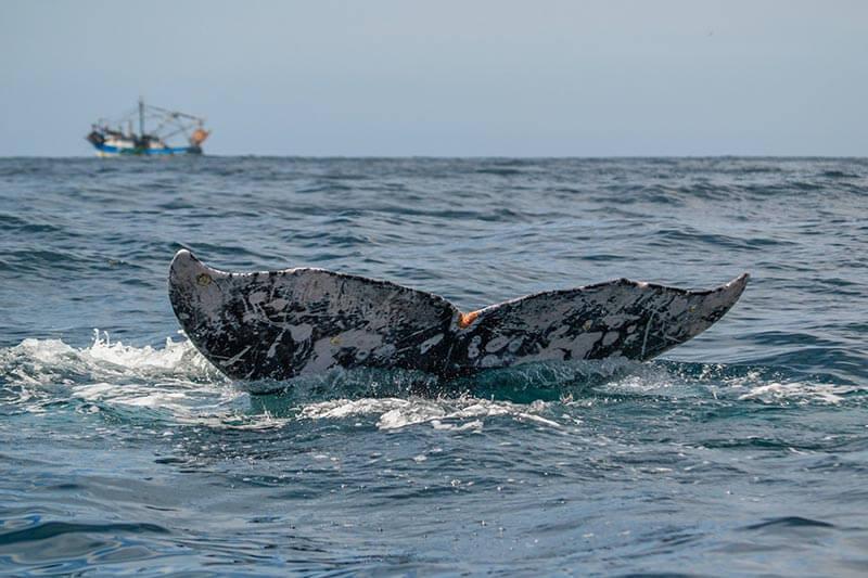 cola-de-ballena-gris