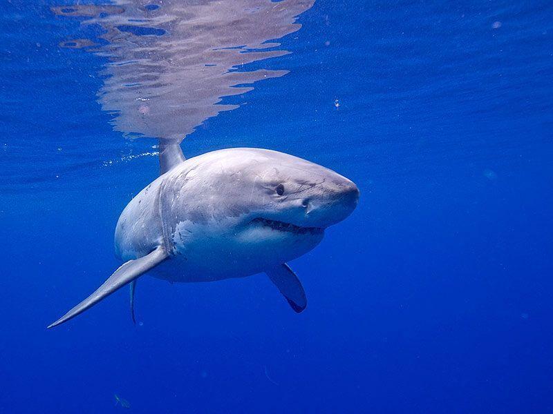buceo-en-baja-california-tiburon-blanco