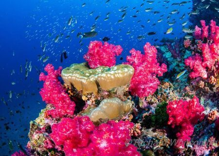 viaje-de-buceo-similan-islands-vida-a-bordo-grupo-coral