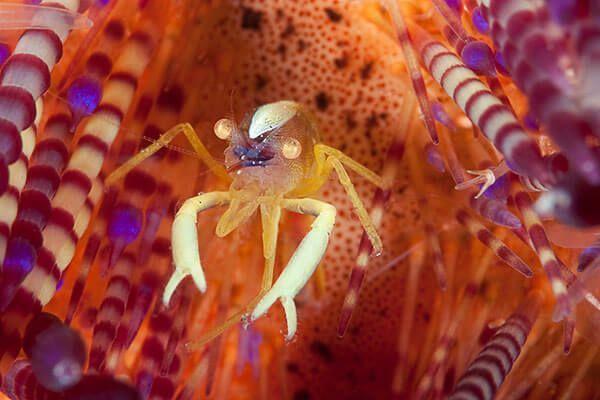 viaje buceo lembeh bunaken curso fotografia submarina Pincushion by Cary Yanny