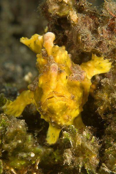 viaje de buceo lembeh y bunaken curso de fotografia submarina Frogfish Cary Yanny