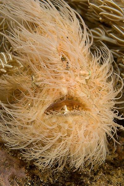 viaje de buceo lembeh y bunaken curso de fotografia submarina Hairy Frogfish by Cary Yanny