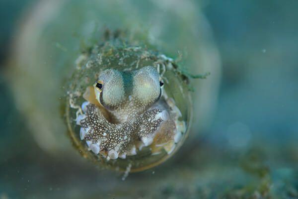 viaje de buceo lembeh y bunaken curso de fotografia submarina Octopus in bottle by Cary Yanny