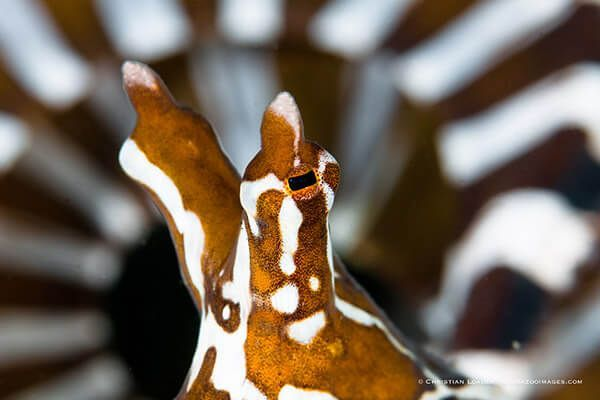 viaje de buceo lembeh y bunaken curso de fotografia submarina Wonderpuss by Christian Loader