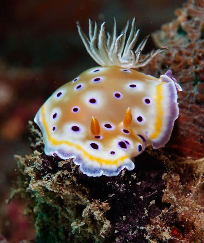 Fotografía macro submarina nudibranquio 2