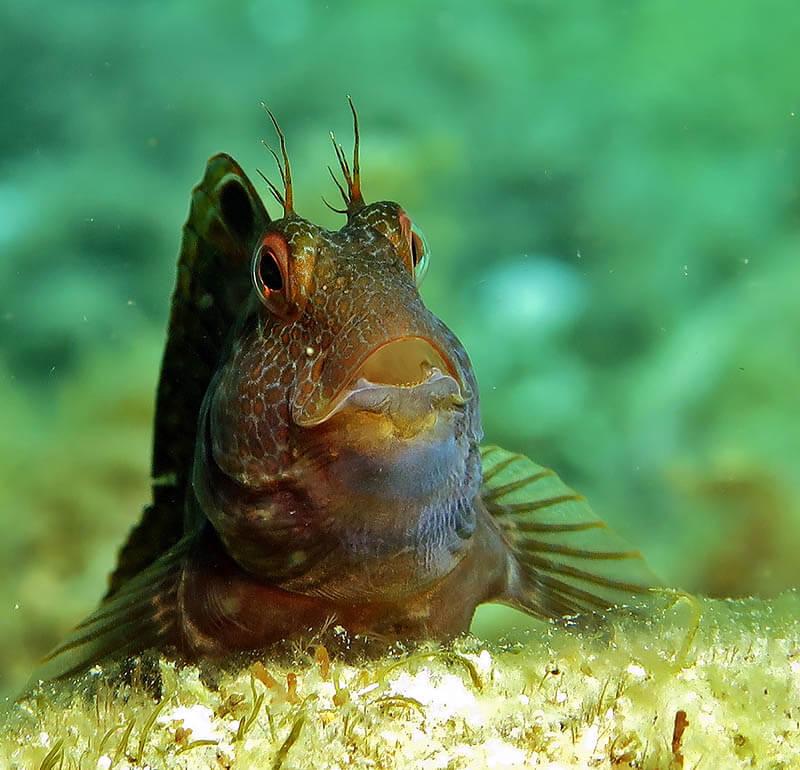 fotografia submarina lente blénido