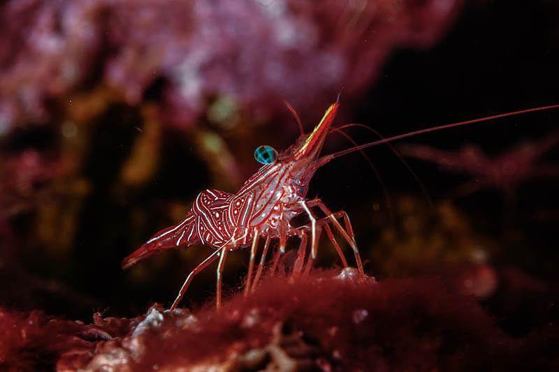 fotografia submarina macro gamba colorada