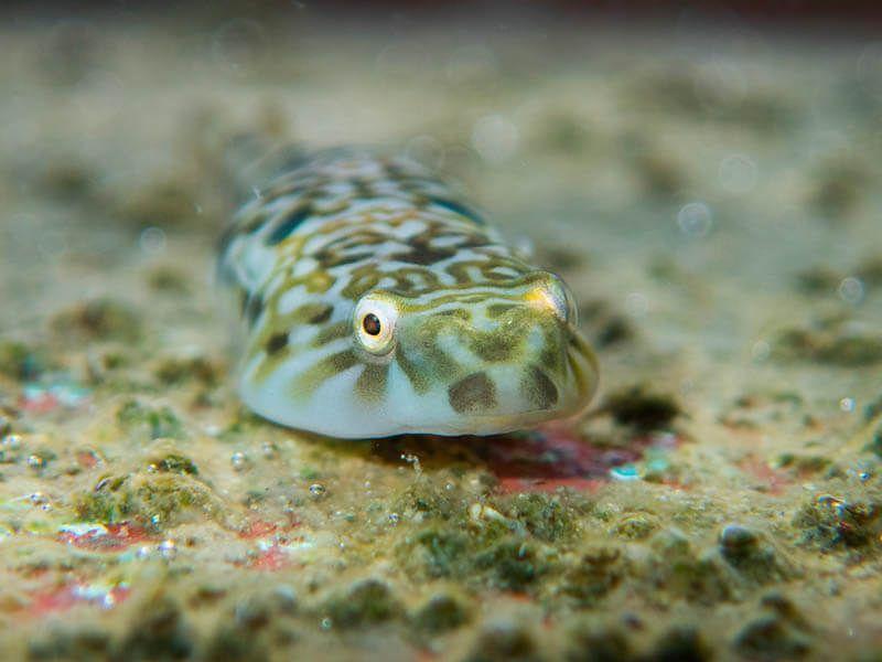 macrofotografia submarina chafarrocas