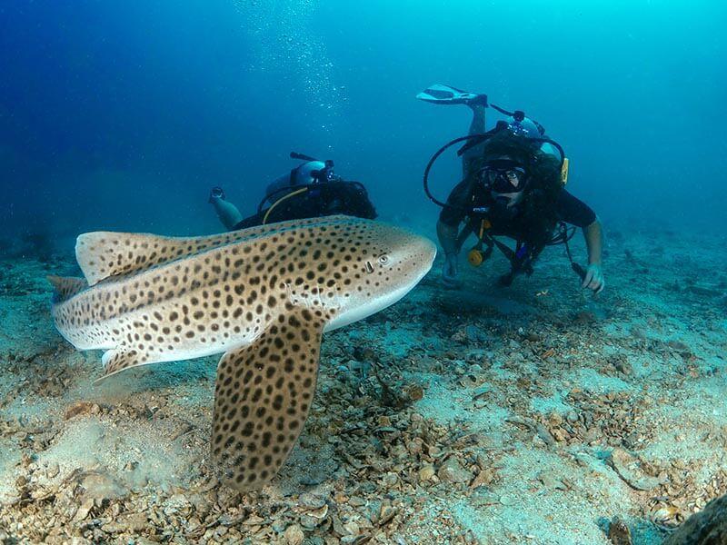 El buceo en Koh Lanta - Tiburón leopardo
