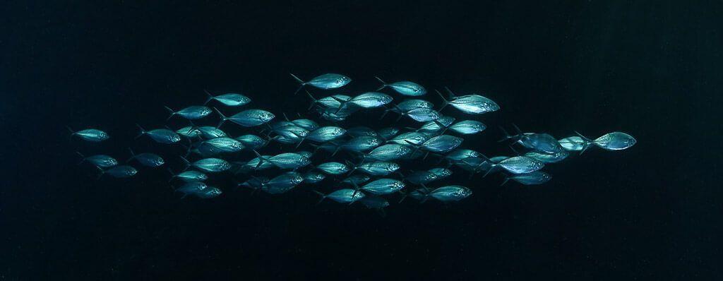 fotografía submarina de banco de peces con fondo negro