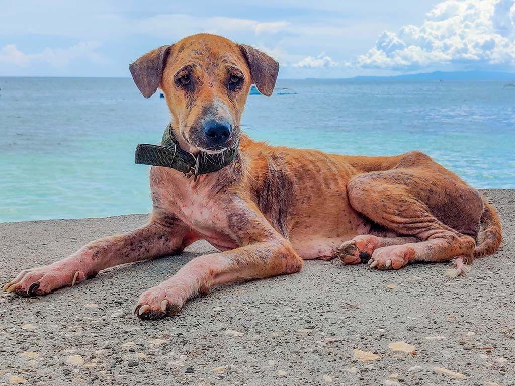 perro vagabundo de Bohol