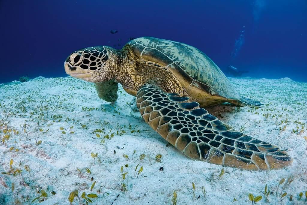 tortuga buceando en Bohol