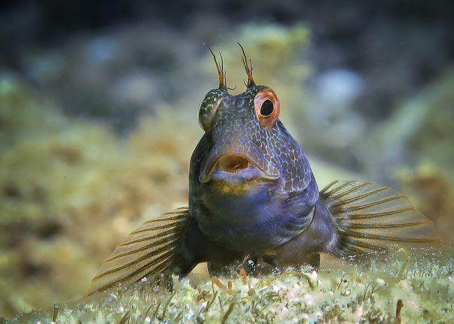 Cursos de fotografia submarina presenciales - Costa Brava - Blenido marrón
