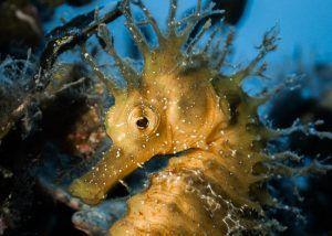 Cursos de fotografia submarina presenciales - Costa Brava Caballito de mar amarillo