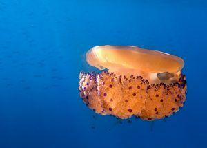 Cursos de fotografia submarina presenciales - Costa Brava - Medusa hueo frito