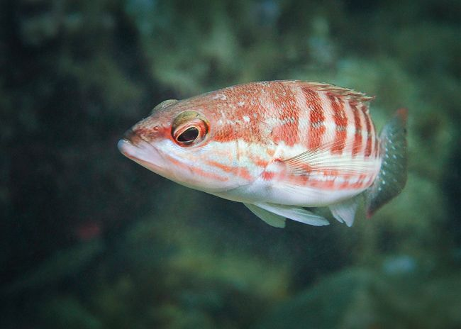 Cursos de fotografia submarina presenciales - Costa Brava - pez serrano