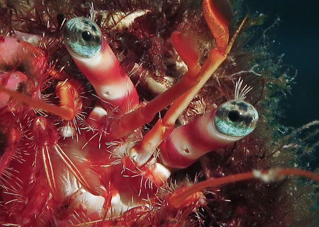 cursos de fotografia submarina presenciales - viajarbuceando - cangrejo